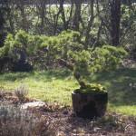 'bonsai' - den